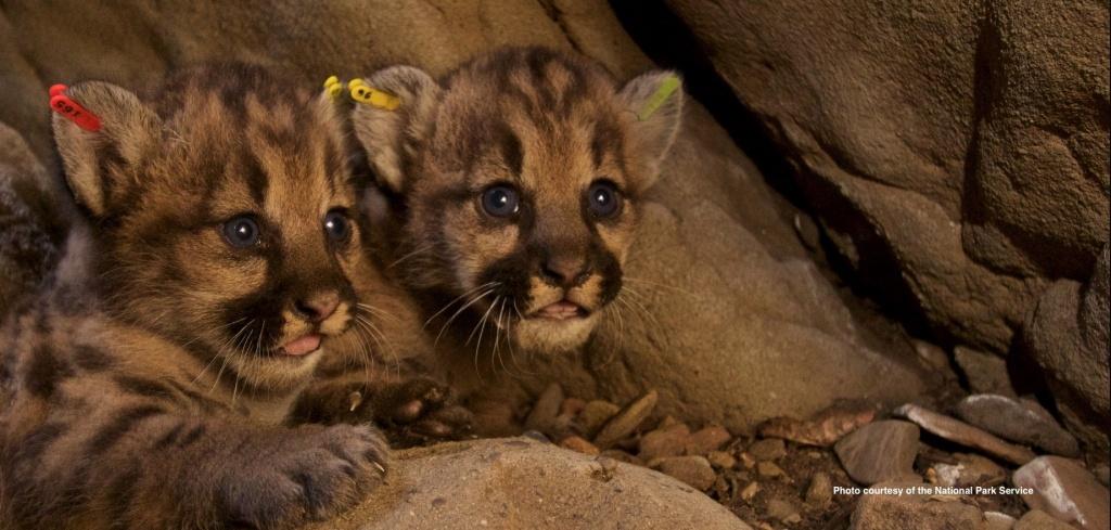 California_cougar_kittens