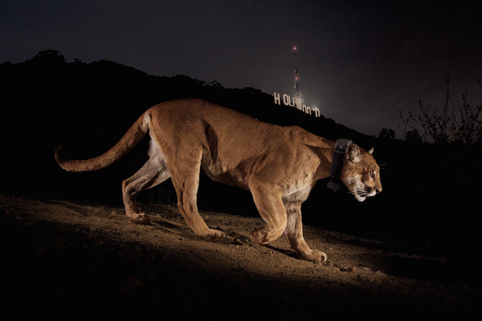 California_cougar_P22_in_Los_Angeles_Griffith_Park