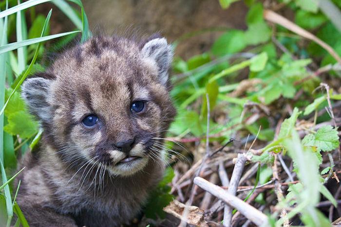 California_urban_cougar_kitten