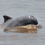 Freshwater River Dolphin